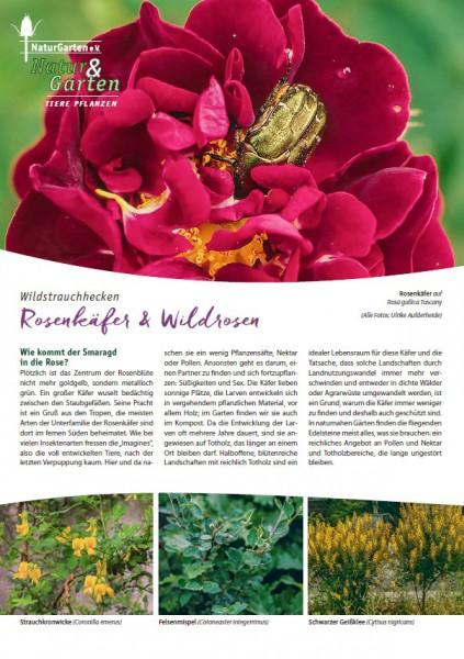 Natur&Garten 1/2017A Rosenkäfer und Wildrosen