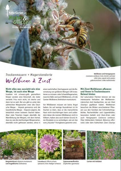 Natur&Garten 1/2017A Wollbiene und Ziest